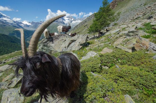 Aanhankelijke schapen bij de Matterhorn