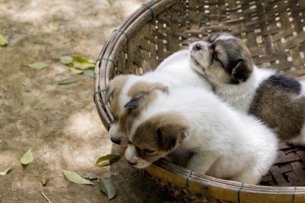 drie kleine puppy's