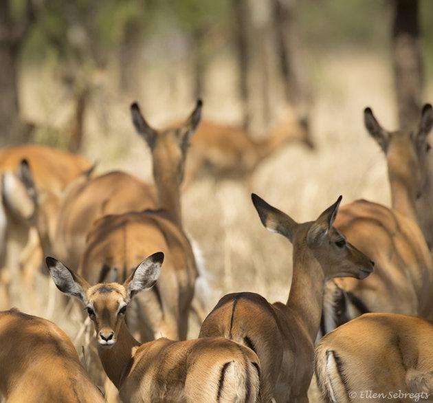 Rijden door de Serengeti
