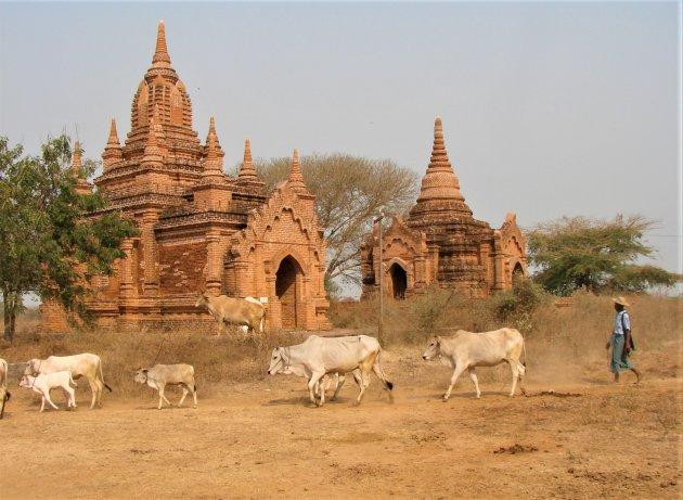 Koeien grazen tussen de Tempels.