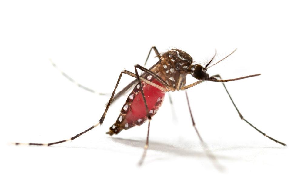 De aedes-mug brengt veel virussen over die tropische ziektes zoals gele koorts en dengue veroorzaken.