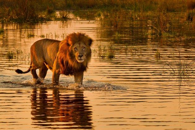 Leeuw in het water bij het eerste licht