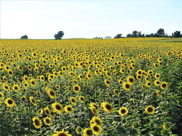 Zonnebloemen zo ver je kijken kunt.