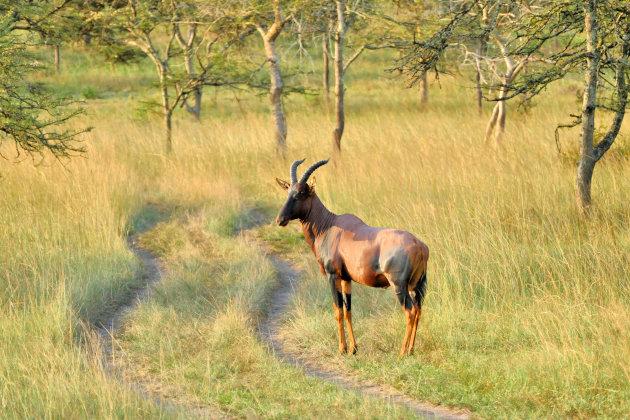 Topi gazelle