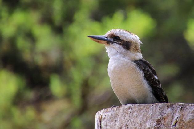 De lach van de Kookaburra