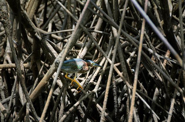 Laveren in het mangrovebos
