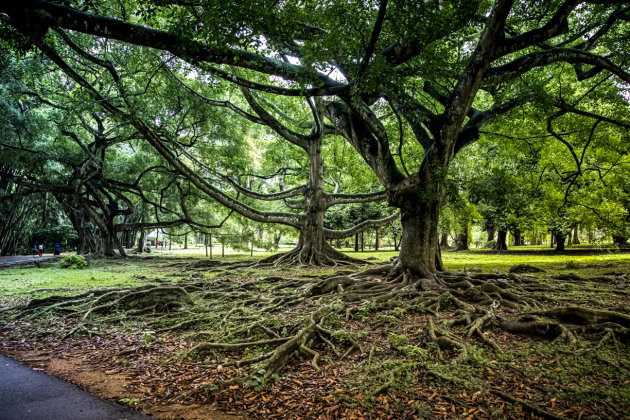 Banyan Ficus - Scary Trees