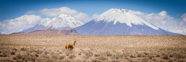 Eenzame vicuña in Lauca Nationaal Park