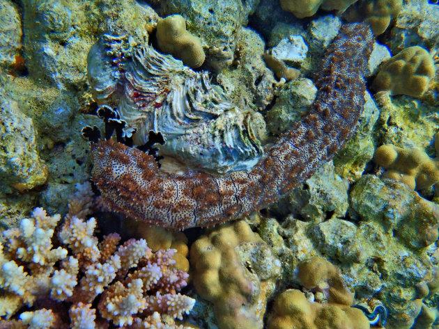 Graeffes zeekomkommer