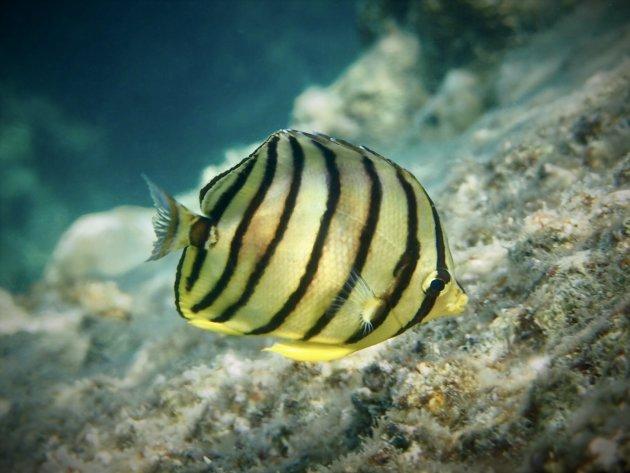 Eigth-banded butterflyfish