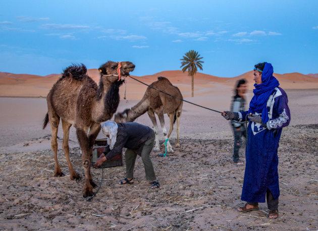 De kamelen worden verzameld