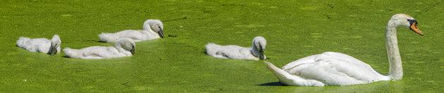 Witte vierling