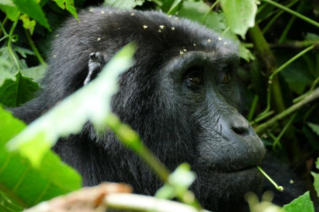 In het leefgebied van de gorilla's