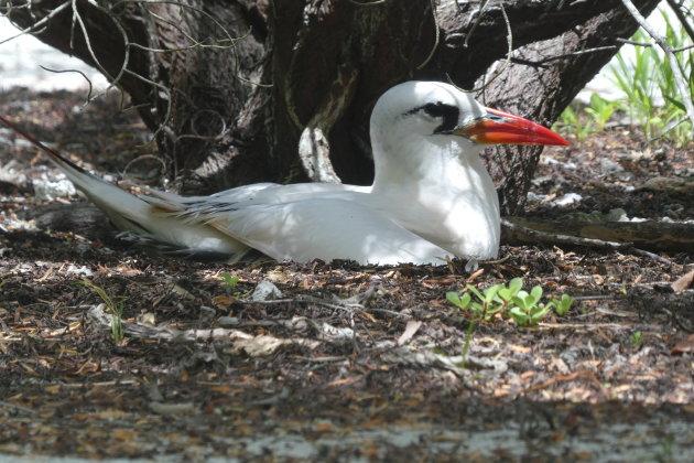 Roodstaartkeerkringvogel