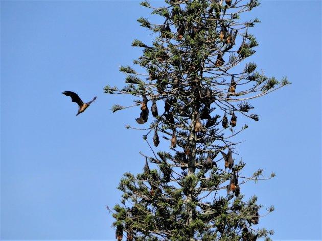 Een boom vol vliegende honden.