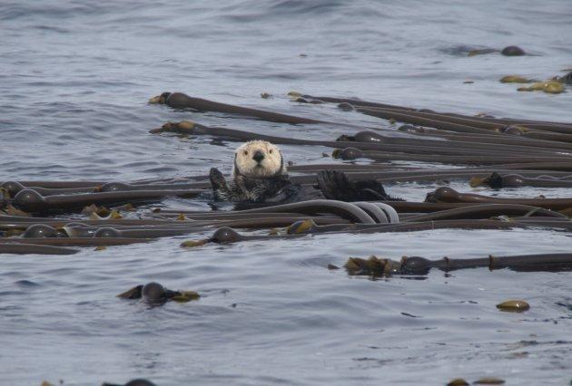 Zeeotter in het kelp