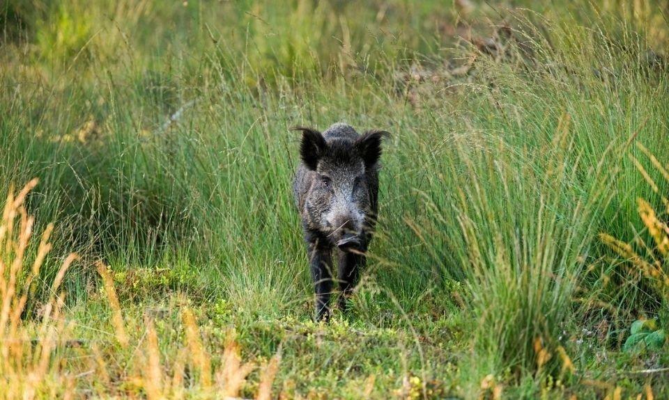 Wilde zwijnen tijdens boswandeling in het Deelerwoud