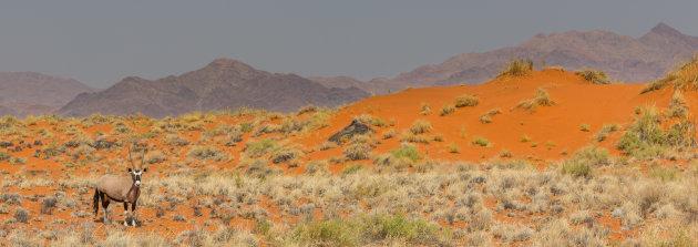 Oryx in oranje duinen