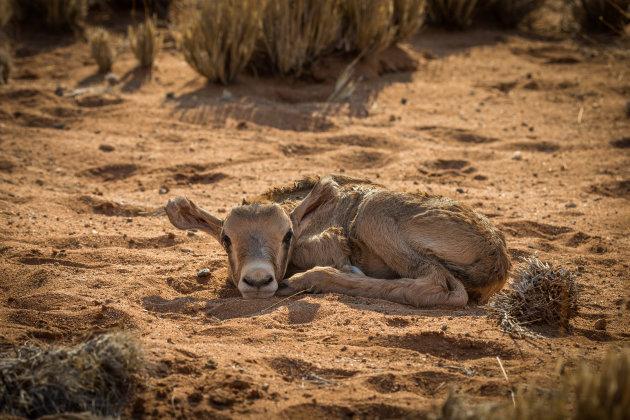 Pasgeboren oryx