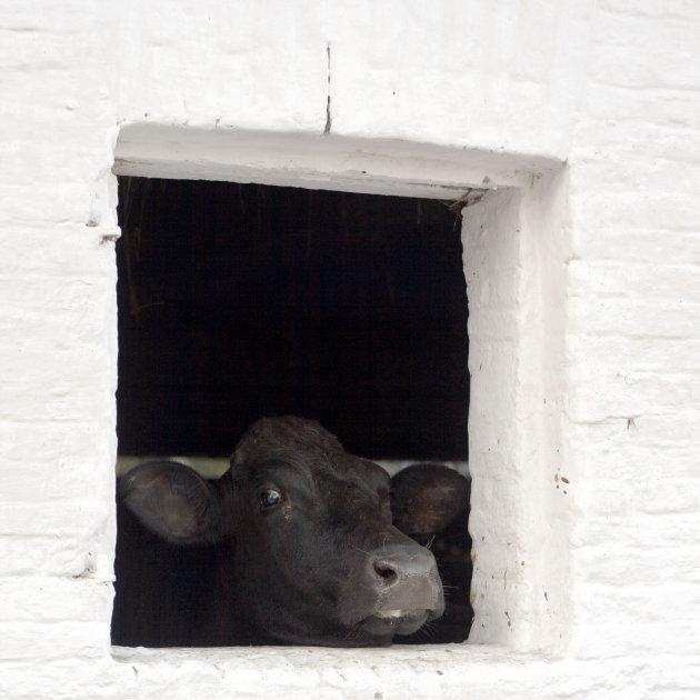 Kieke-koe