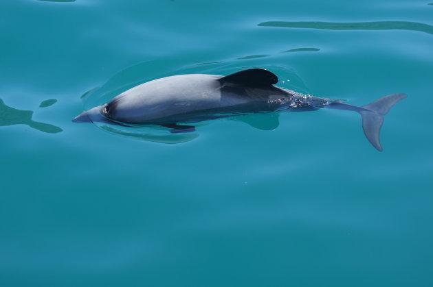 Nieuw Zeeland in de baai van Akaroa net ten westen van Christchurch. Hector dolfijnen in de baai.
