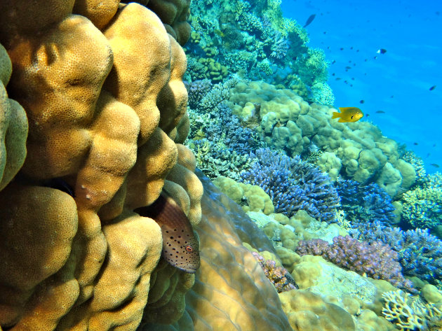 Slanke koraalklimmer