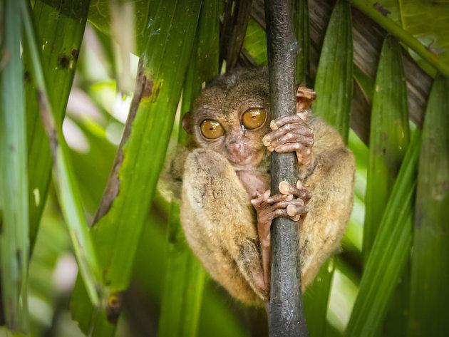 Spookdiertje op de Filipijnen