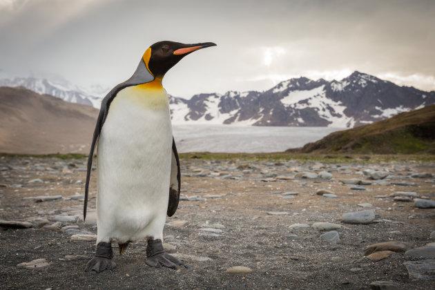 Koning der pinguïns