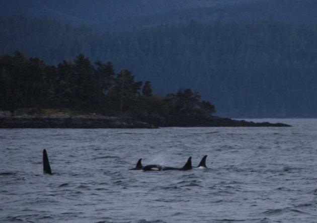 Orca's bij Telegraph Cove