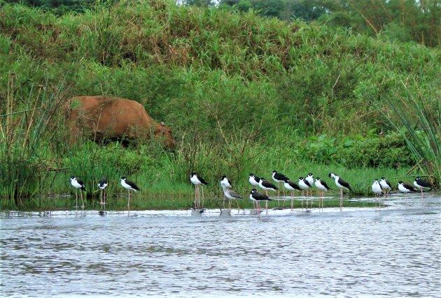 Watervogels op stelten.