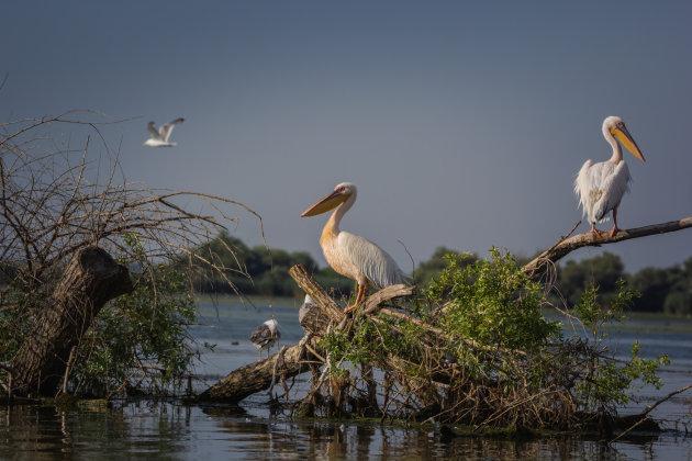 Pelikanen in de delta
