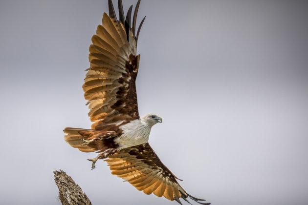 The Brahminy Kite