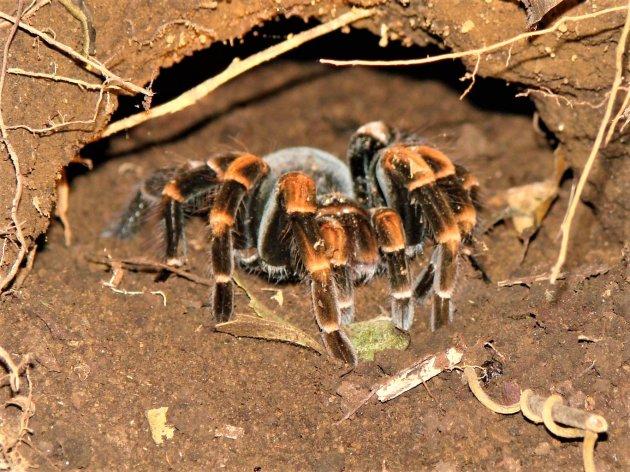 Tarantula of Vogelspin.