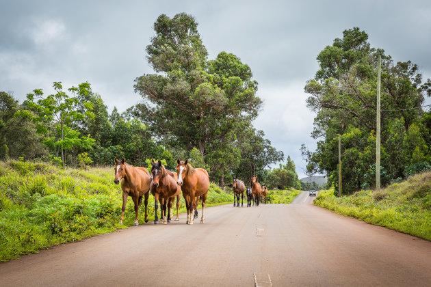 Opletten voor de wilde paarden