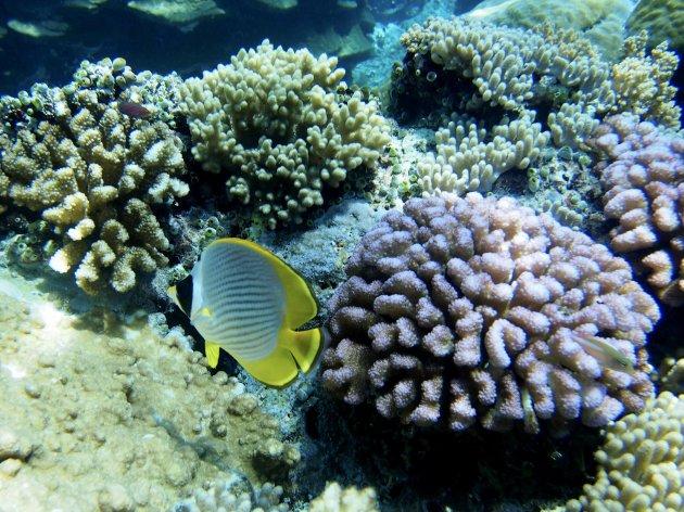Koraal en koraalvlinder