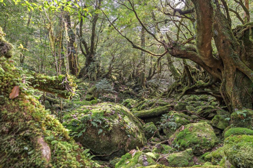 bossen op Yakushima, Japan