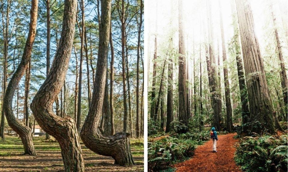 Krzywy Las Polen / Humboldt Redwood Park Californië, Verenigde Staten