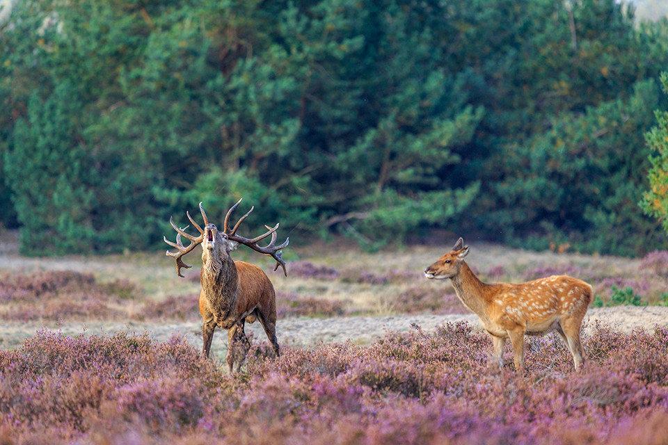 Wild spotten Veluwe