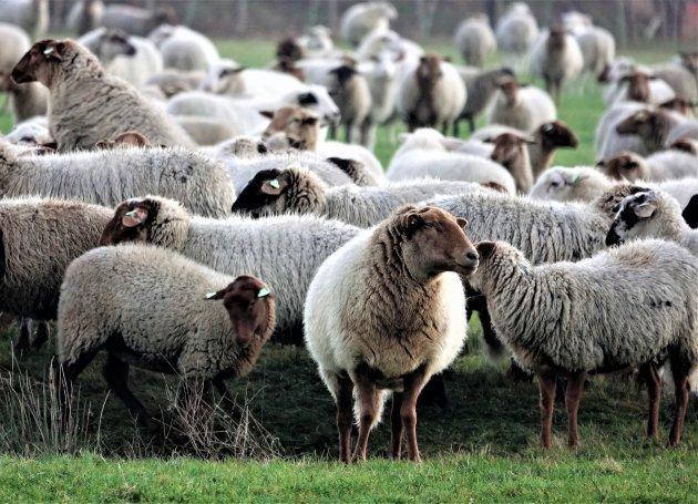 Heel veel schapenpootjes