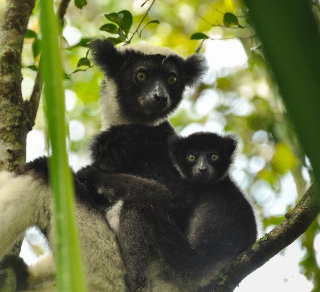 De roep van de Indri Indri