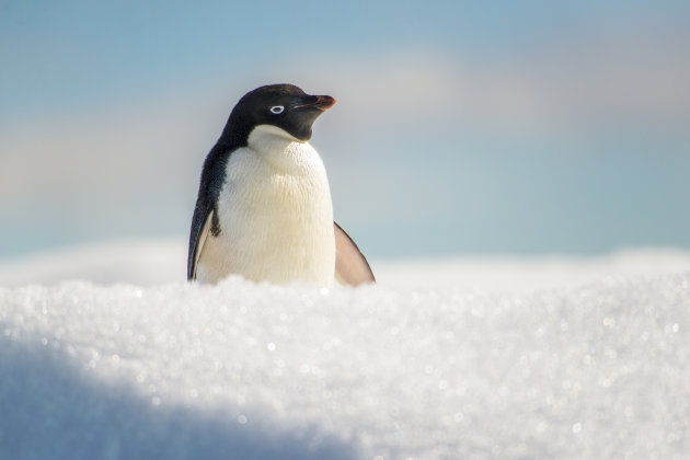 Adélie pinguin
