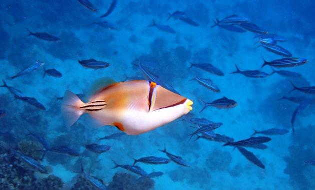 Picassovis in de Rode zee