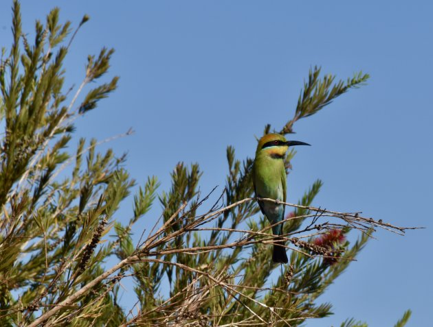 Bee-eater in Mary River NP
