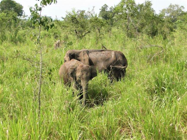 Olifanten in het hoge gras.