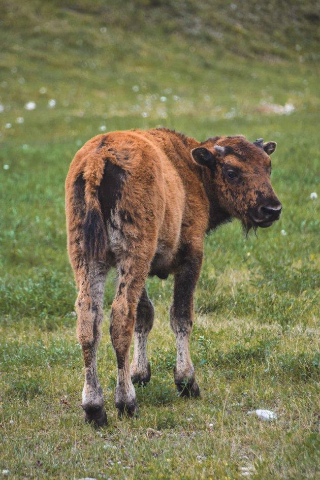 Ben jij ooit op een bizon-farm geweest?