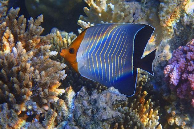 De hooded butterflyfish
