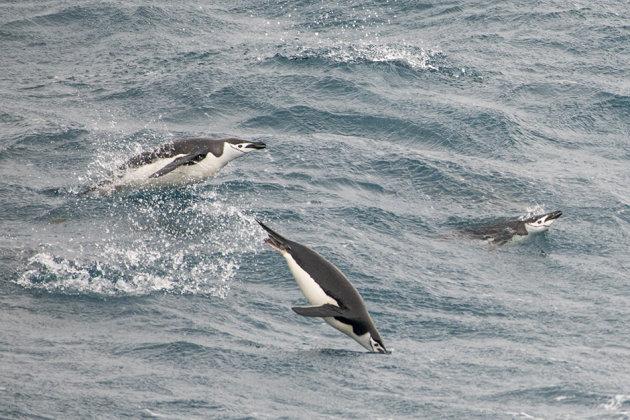 Jumping kinband pinguins
