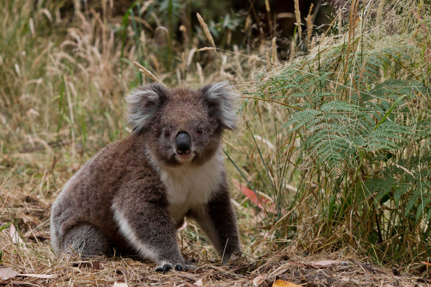 Mijn eerste koala gespot zittend langs de weg