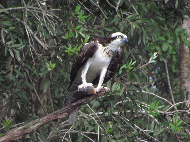 Roofvogels op Cuba