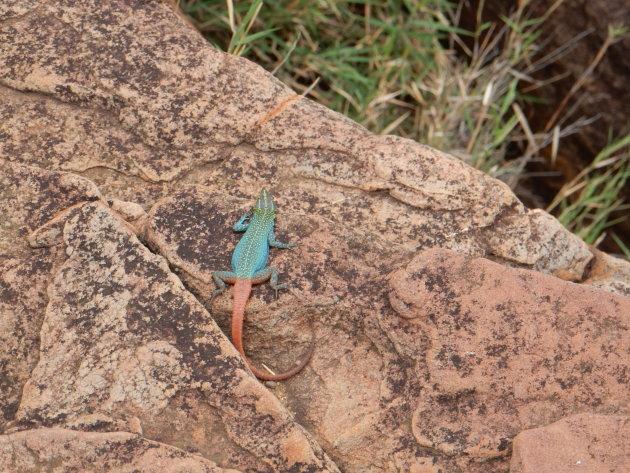 Gekleurde salamanders rondom de Blyde River Canyon